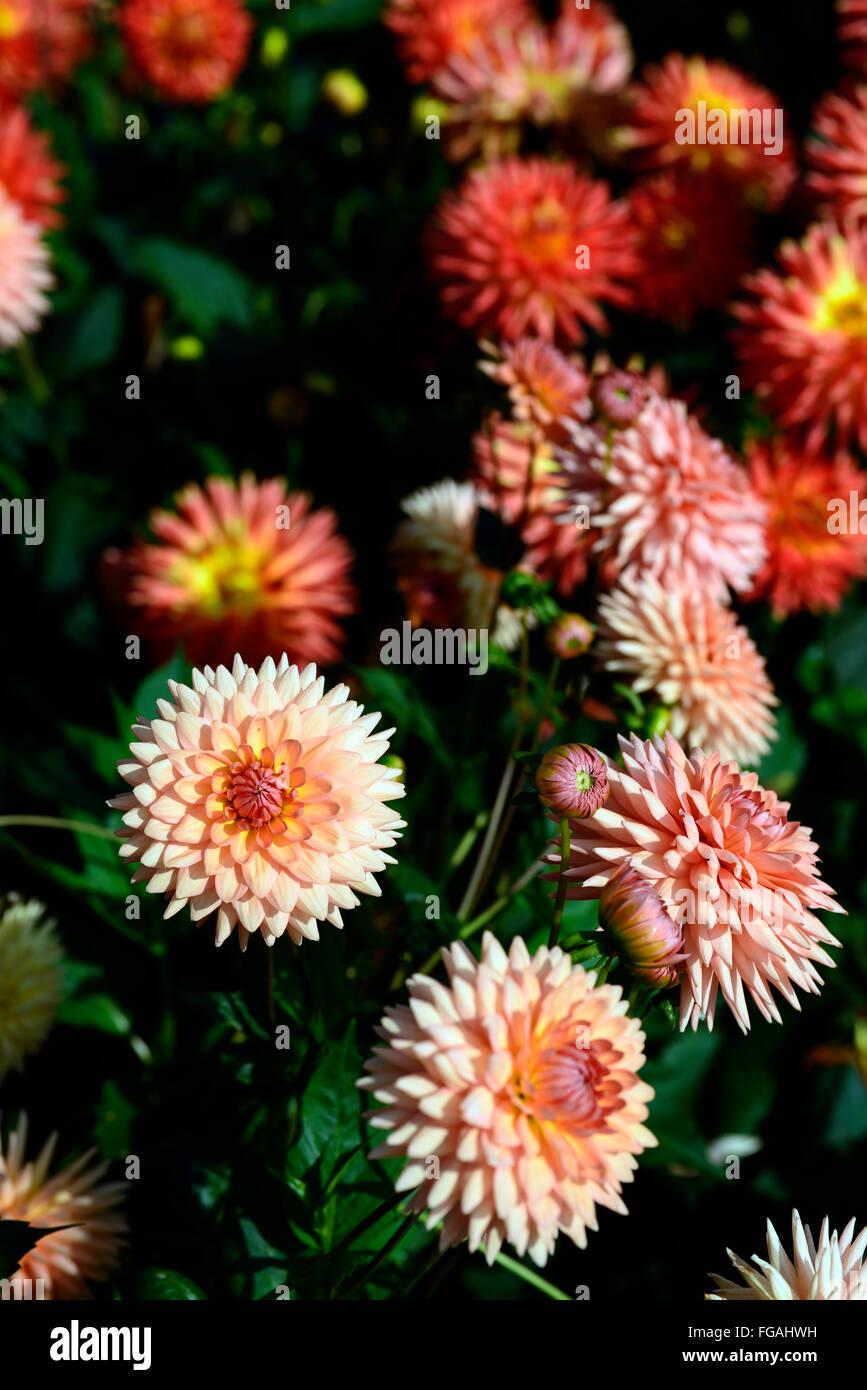 Dahlia bora bora orange semi cactus dahlias flower flowers bloom dahlia bora bora orange semi cactus dahlias flower flowers bloom blossom perennial tuber tuberous plant rm floral izmirmasajfo