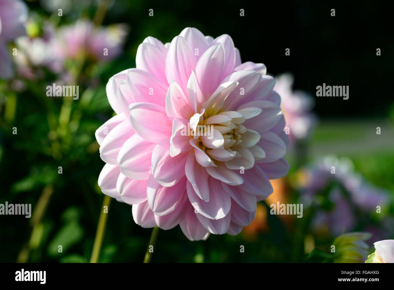 Dahlia brackenridge ballerina pink waterlily dahlias flower flowers dahlia brackenridge ballerina pink waterlily dahlias flower flowers bloom blossom perennial tuber tuberous plant rm floral izmirmasajfo