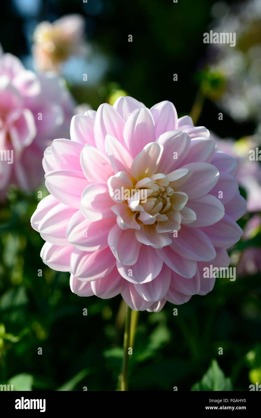 Dahlia Brackenridge Ballerina Pink Waterlily Dahlias Flower Flowers