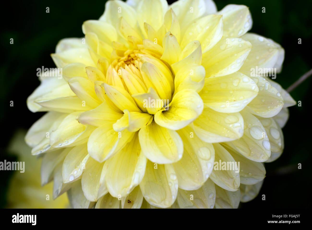Dahlia darraghs delight cream dahlias flower flowers bloom blossom dahlia darraghs delight cream dahlias flower flowers bloom blossom perennial tuber tuberous plant rm floral izmirmasajfo
