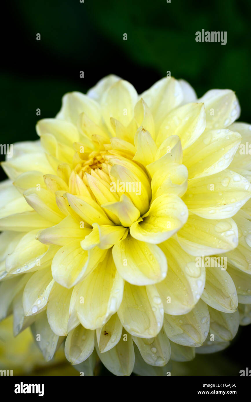 Dahlia darraghs delight cream dahlias flower flowers bloom blossom dahlia darraghs delight cream dahlias flower flowers bloom blossom perennial tuber tuberous plant rm floral izmirmasajfo