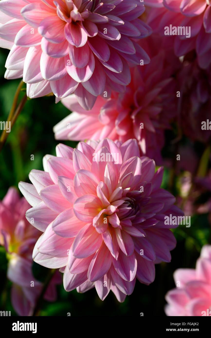 Dahlia gerrie hoek pink waterlily dahlias flower flowers bloom stock dahlia gerrie hoek pink waterlily dahlias flower flowers bloom blossom perennial tuber tuberous plant rm floral izmirmasajfo