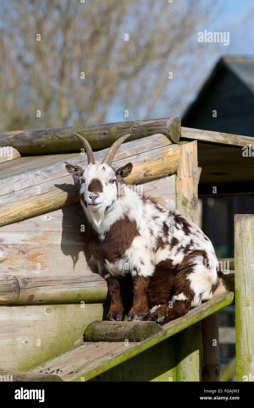 Pygmy Goat; Single; Captive Cornwall; UK - Stock Image