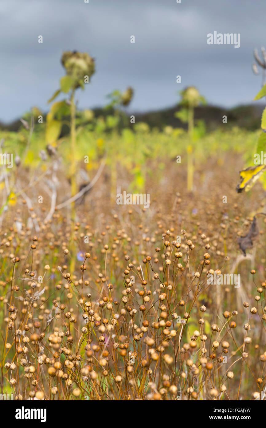 Sunflowers and Seed Heads Teneriffe Farm Cornwall; UK - Stock Image