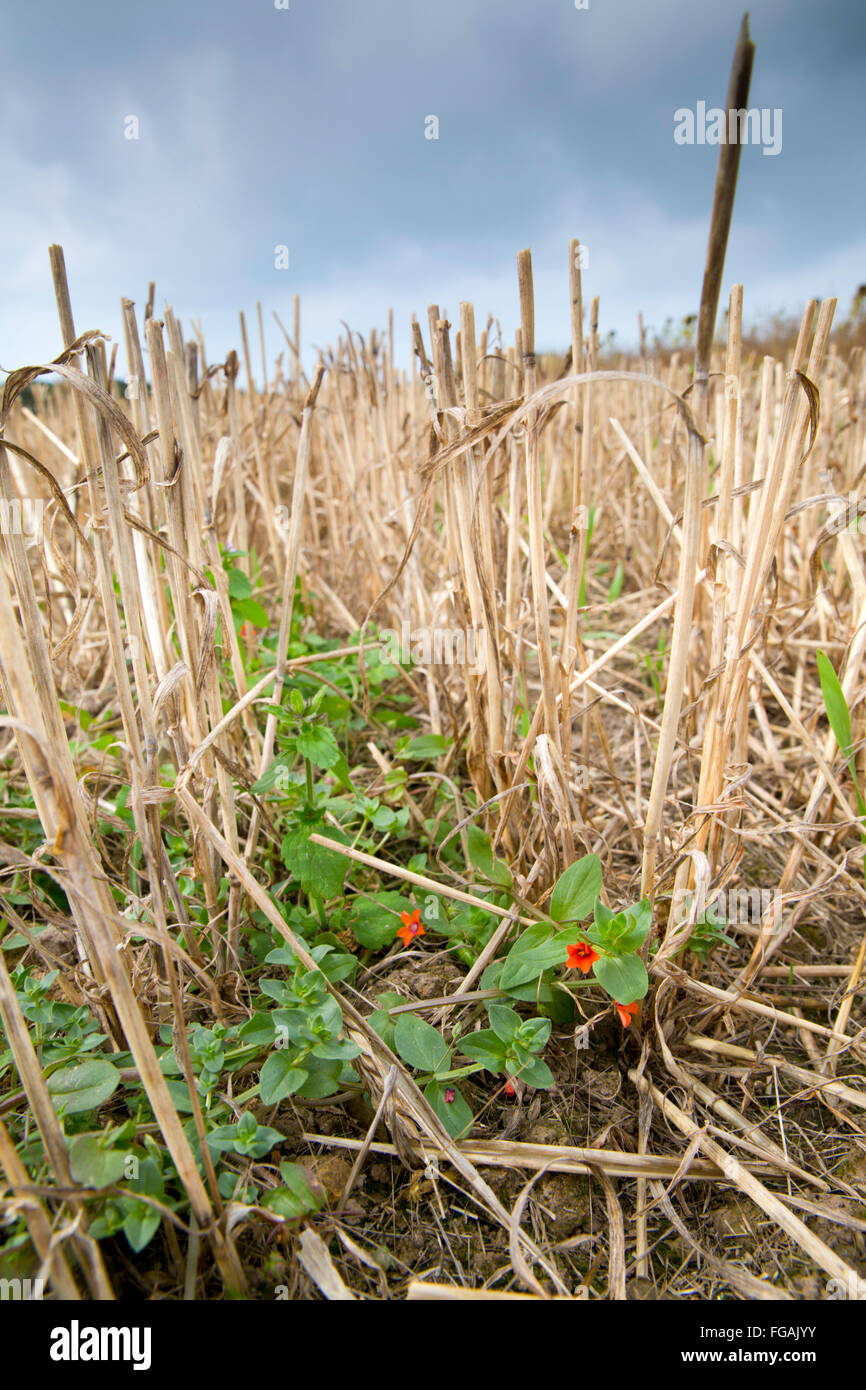 Scarlet Pimpernel; Anagallis arvensis In Stubble Field Teneriffe Farm; Cornwall; UK - Stock Image