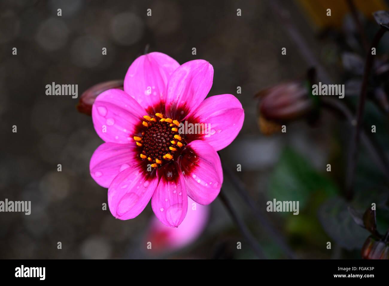 Dahlia happy single wink pink purple dahlias flower flowers bloom dahlia happy single wink pink purple dahlias flower flowers bloom blossom perennial tuber tuberous plant rm floral izmirmasajfo