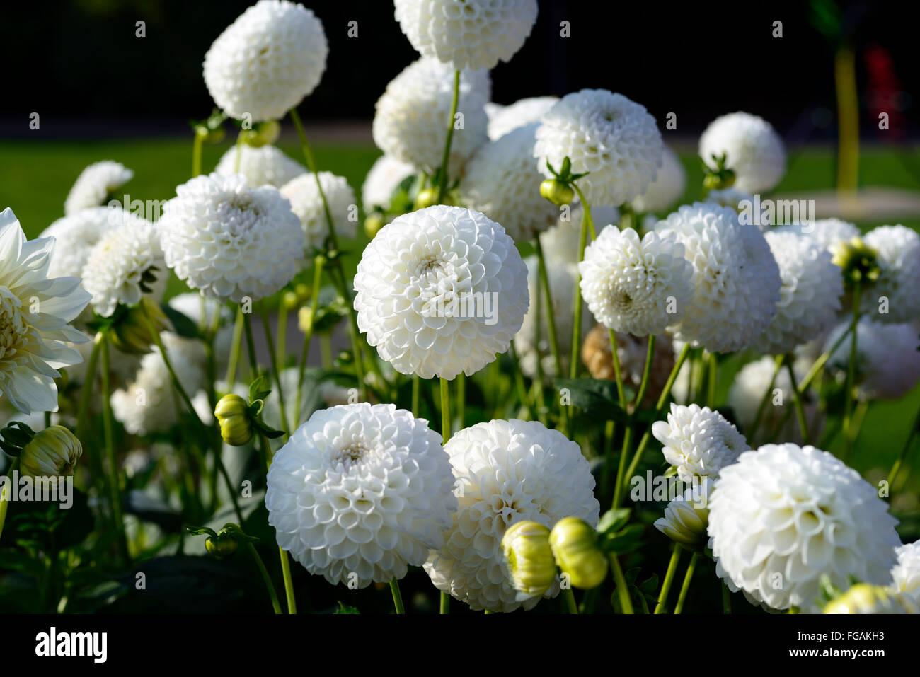 Dahlia lancresse white ball dahlias flower flowers bloom blossom dahlia lancresse white ball dahlias flower flowers bloom blossom perennial tuber tuberous plant rm floral mightylinksfo