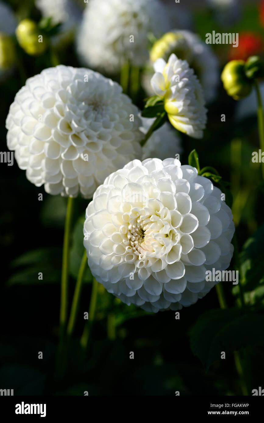Ball dahlias stock photos ball dahlias stock images alamy dahlia lancresse white ball dahlias flower flowers bloom blossom perennial tuber tuberous plant rm izmirmasajfo