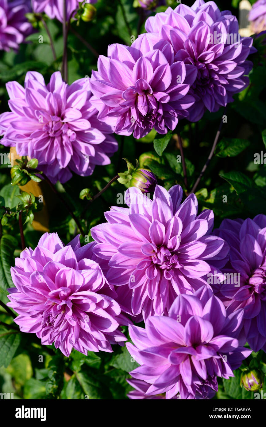 dahlia lilac time lavender purple dinnerplate dahlias flower flowers bloom blossom perennial tuber tuberous plant RM Floral & dahlia lilac time lavender purple dinnerplate dahlias flower flowers ...