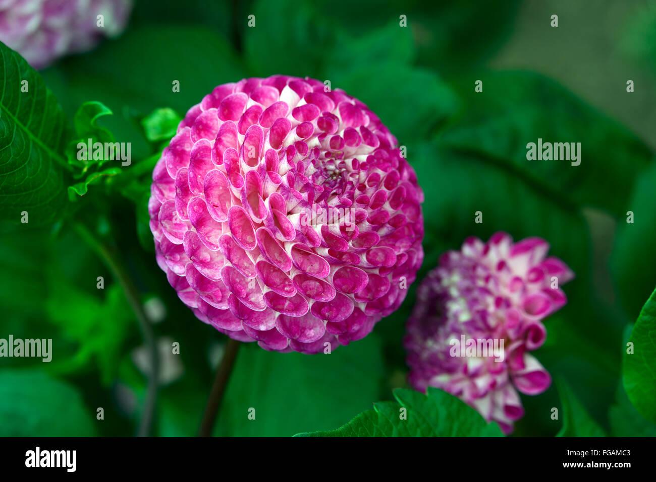 dahlia megan corrigan kearns pompom pink dahlias flower flowers bloom blossom perennial tuber tuberous plant RM - Stock Image
