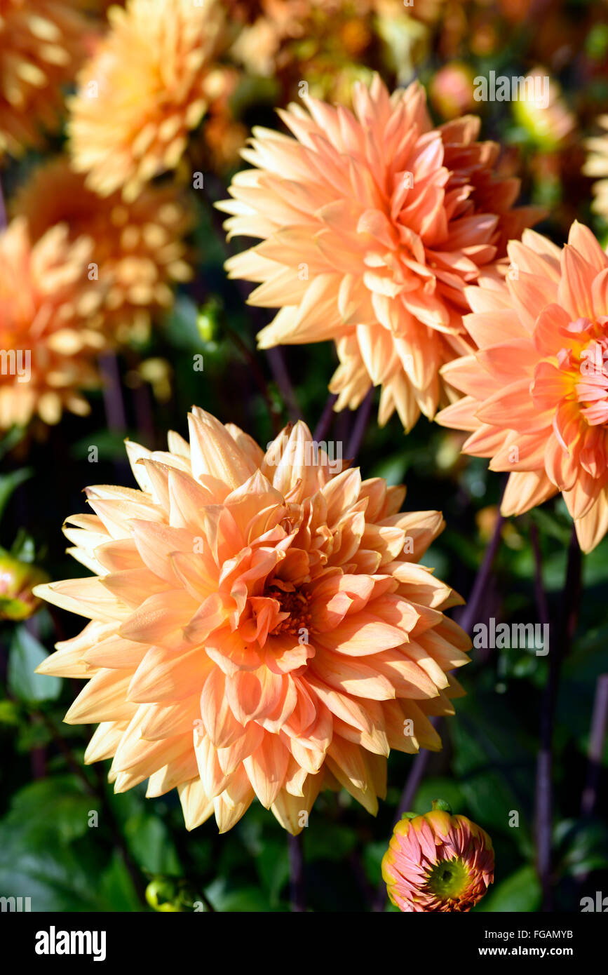 dahlia noordwijks glorie orange dinnerplate dahlias flower flowers bloom blossom perennial tuber tuberous plant RM Floral & dahlia noordwijks glorie orange dinnerplate dahlias flower flowers ...