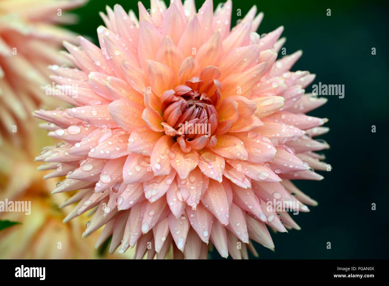 dahlia rodeo orange dinner plate dahlias flower flowers bloom blossom perennial tuber tuberous plant RM Floral & dahlia rodeo orange dinner plate dahlias flower flowers bloom ...