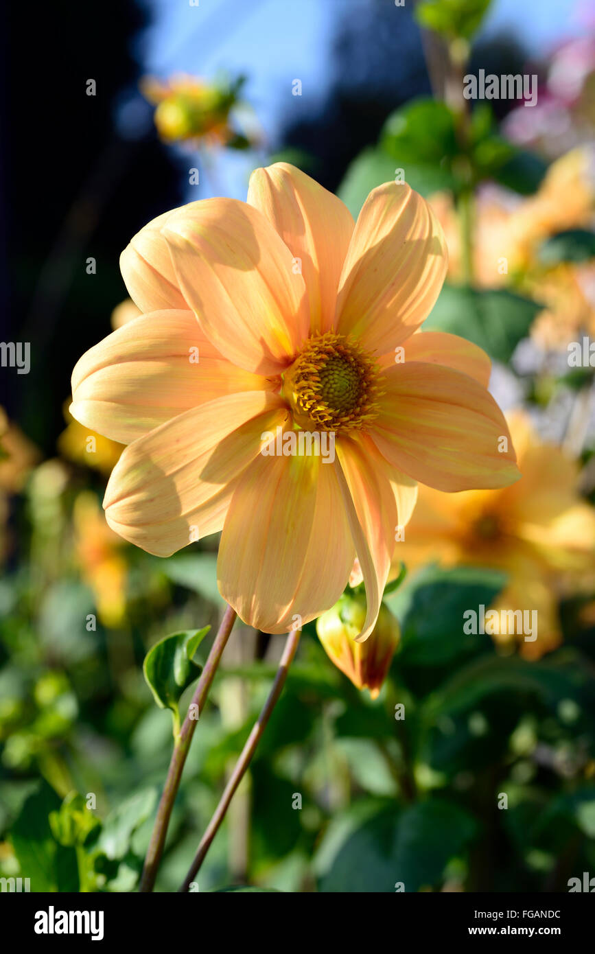 dahlia single orange flowers flowering perennials blooms blossoms tuberous RM Floral - Stock Image