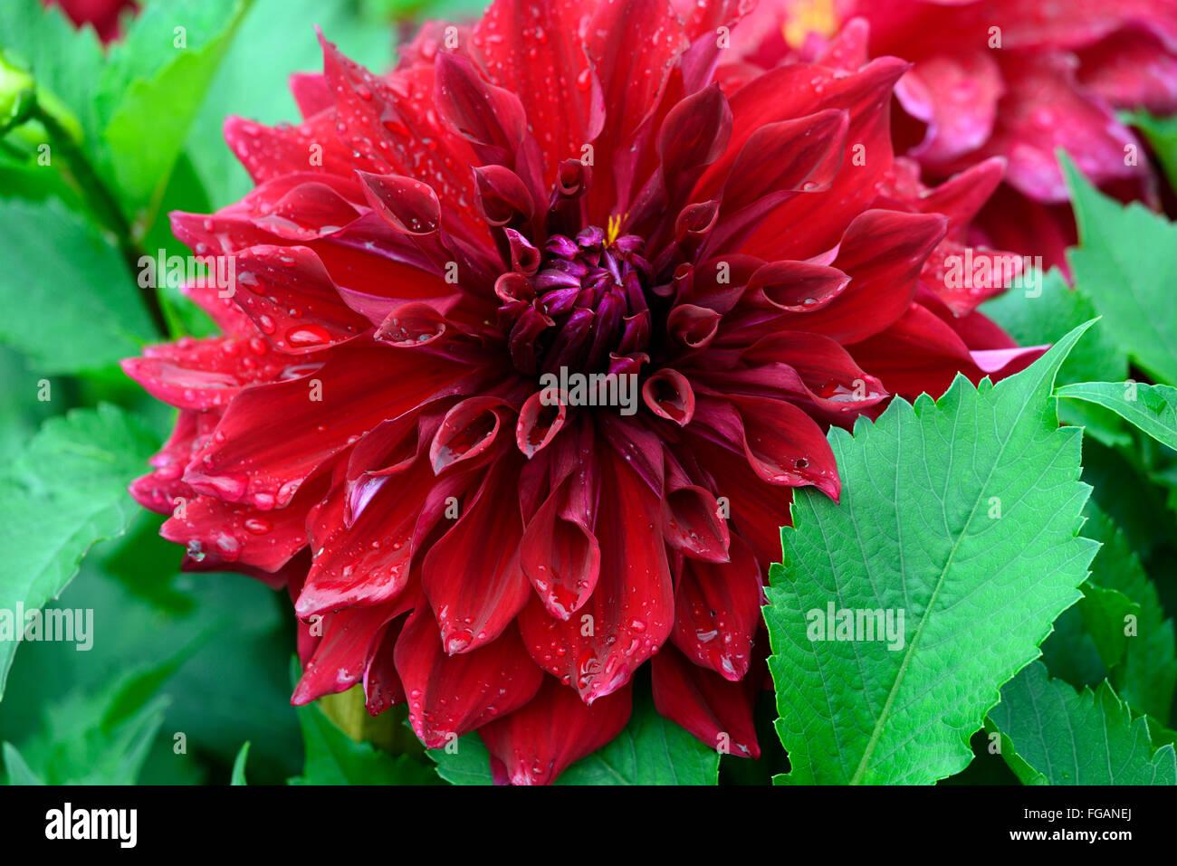 Dahlia Zorro Red Flower Bloom Blossom Decorative Double Flowers