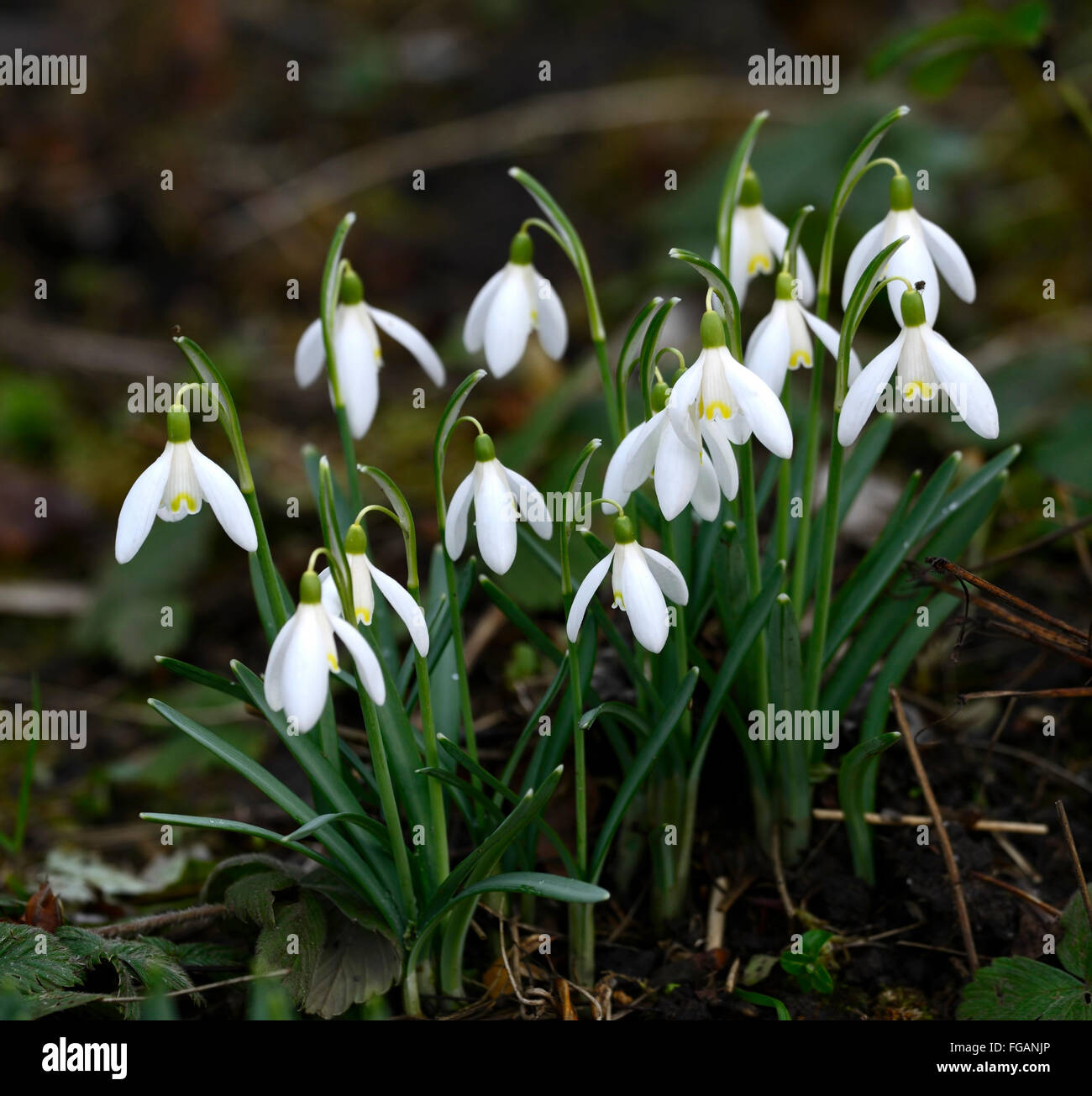 Galanthus Nivalis Blonde Inge White Flower Flowers Yellow Markings