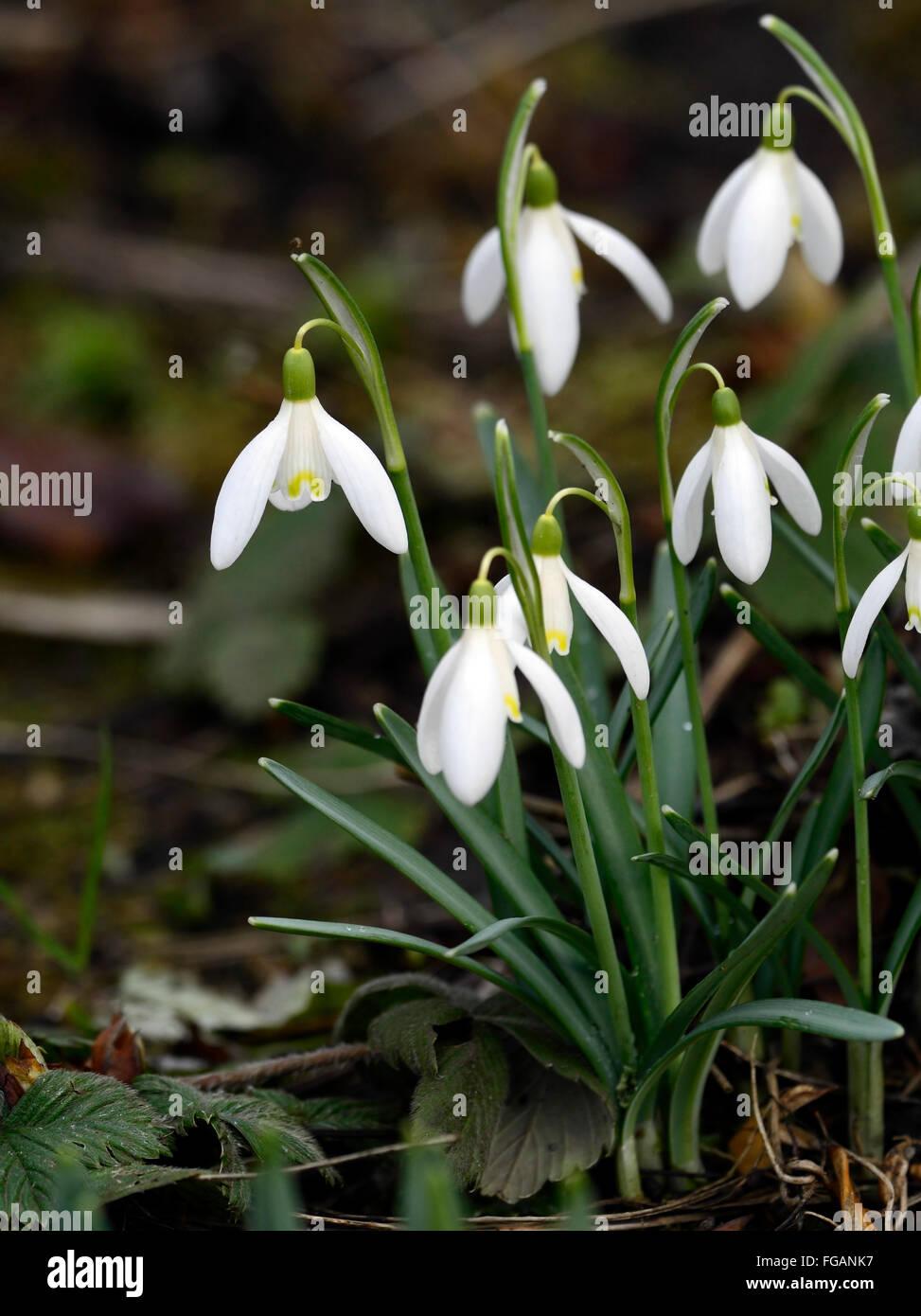 Galanthus Nivalis Blonde Inge white flower flowers yellow markings snowdrops snowdrop spring flowering bulbs RM - Stock Image