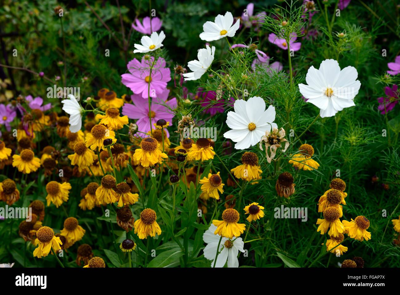 Helenium the bishop cosmos sensation mixed yellow pink white flower helenium the bishop cosmos sensation mixed yellow pink white flower flowers combination display annual perennial mix rm floral mightylinksfo