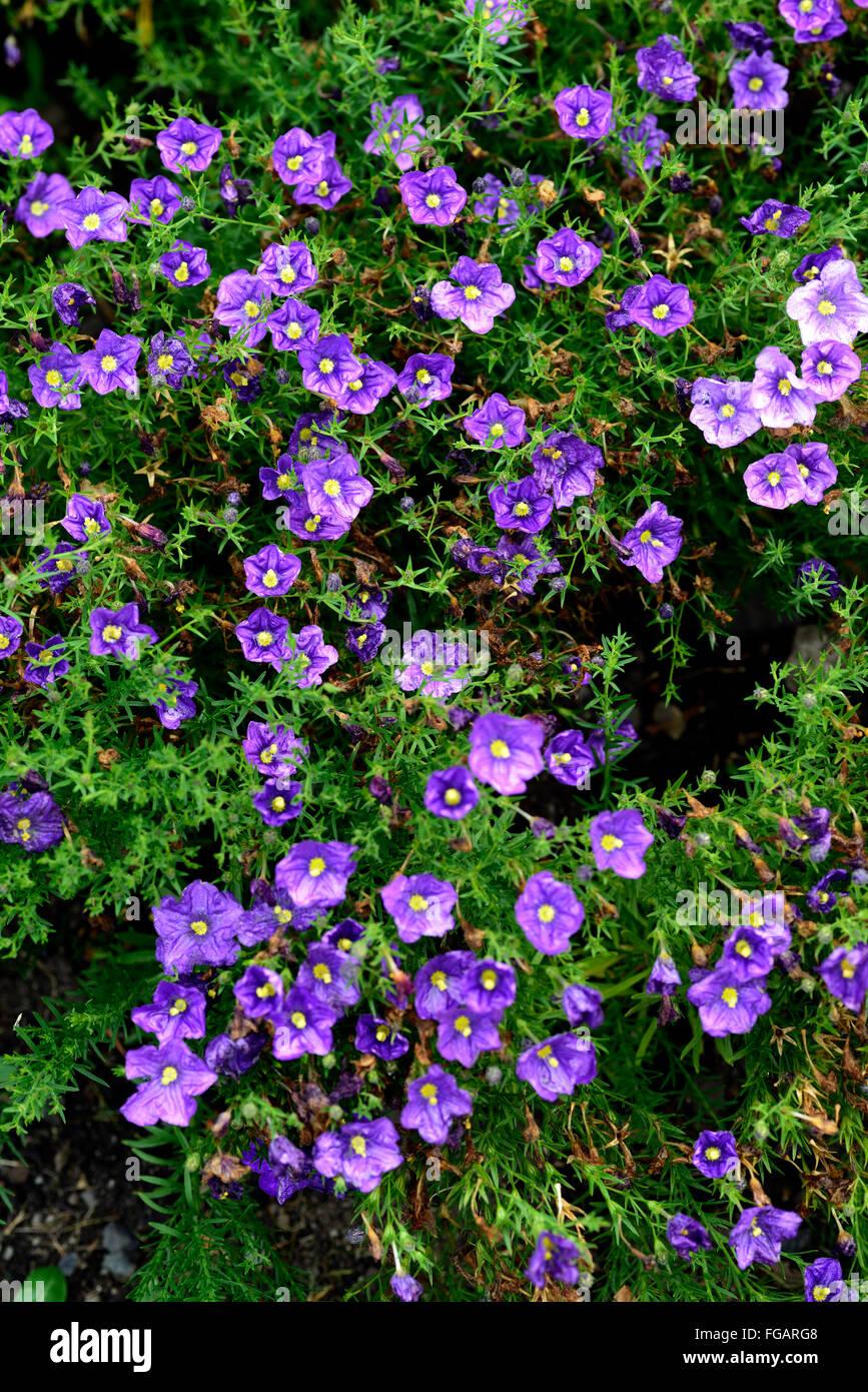 nierembergia hippomanica purple robe Cupflower flower flowers flowering Caerulea var violacea groundcover RM Floral - Stock Image