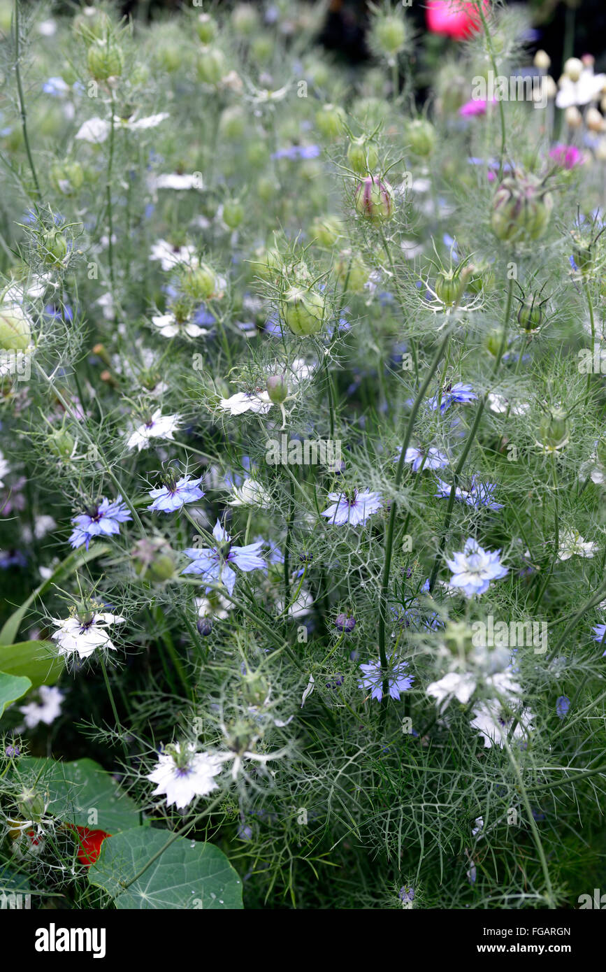 nigella damascena persian jewels love in a mist summer flower annual blue white garden plant flower flowers flowering - Stock Image