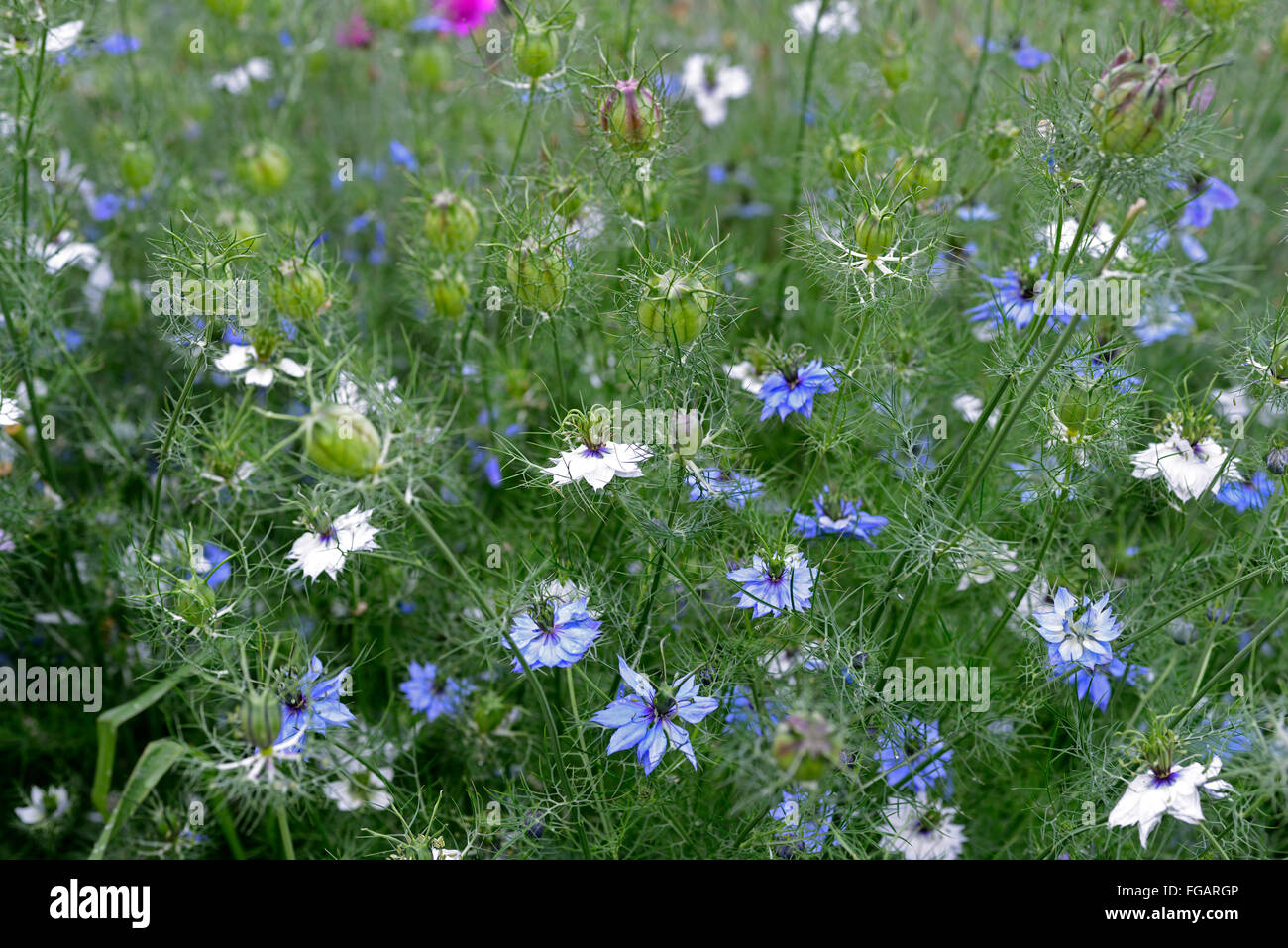 Nigella damascena persian jewels love in a mist summer flower annual nigella damascena persian jewels love in a mist summer flower annual blue white garden plant flower flowers flowering rm floral mightylinksfo
