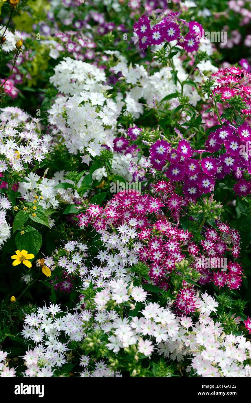 Phlox twinkle dwarf star mixed mix pink white annual bedding border phlox twinkle dwarf star mixed mix pink white annual bedding border plant plants display colour colours rm floral mightylinksfo