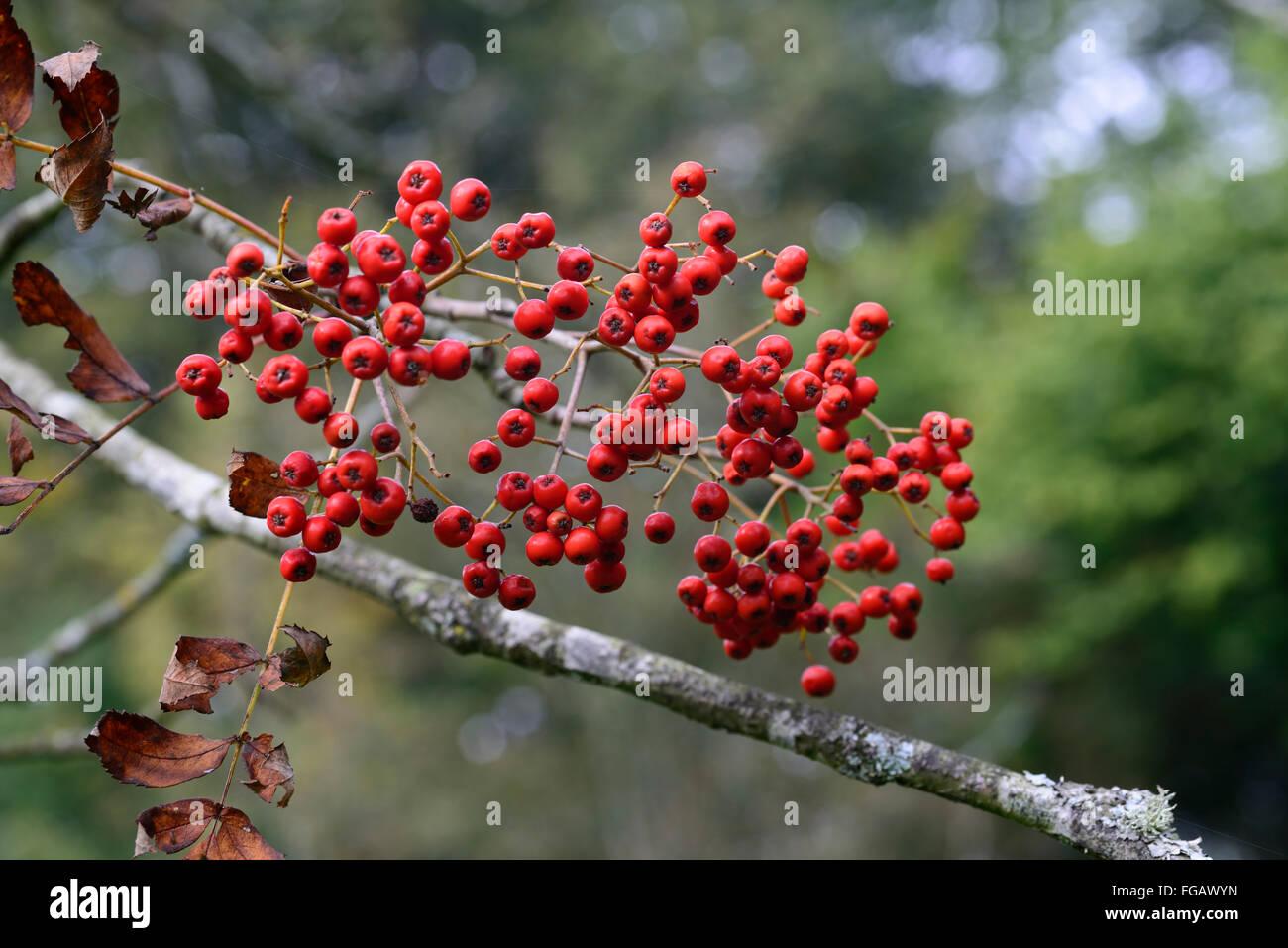 Sorbus Decora Belmont Park Rowan Mountain Ash Red Berry Berries