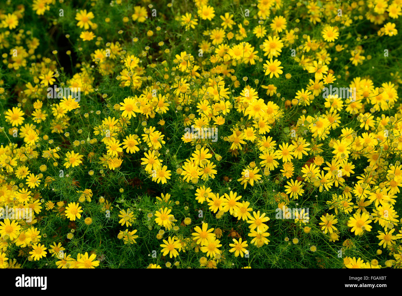 Thymophylla tenuiloba dahlberg daisy yellow flowers flower flowering thymophylla tenuiloba dahlberg daisy yellow flowers flower flowering annual annuals garden plant plants bedding rm floral mightylinksfo