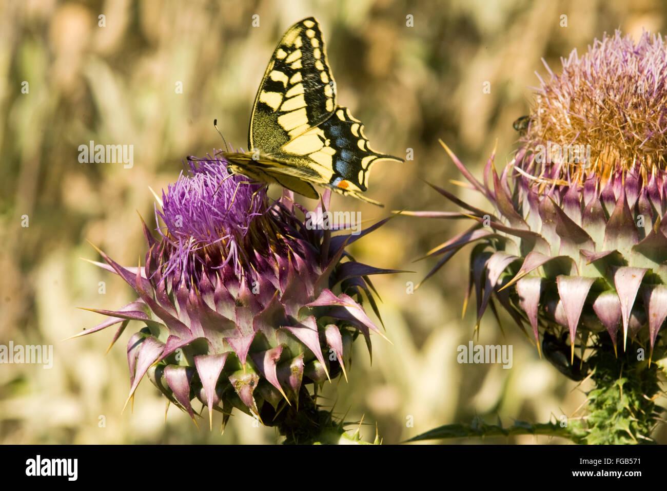 Griechenland, Kreta, bei Kissamos, Polyrrinia, Schmetteling auf Distelblüte. - Stock Image