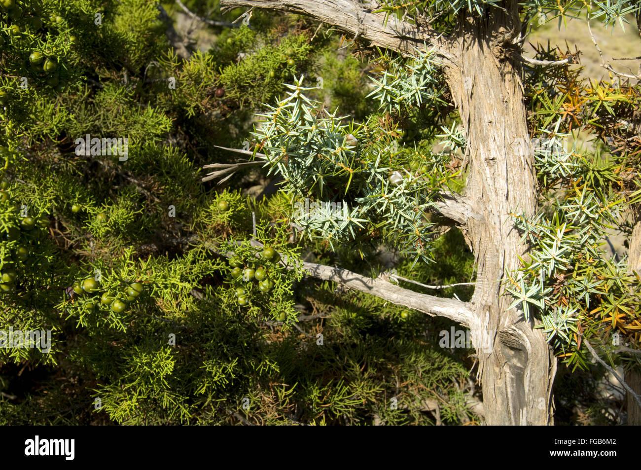 Griechenland, Kreta, Insel Gavdos, Wacholderbaum auf der Wanderung nach Kap Tripiti. Stock Photo