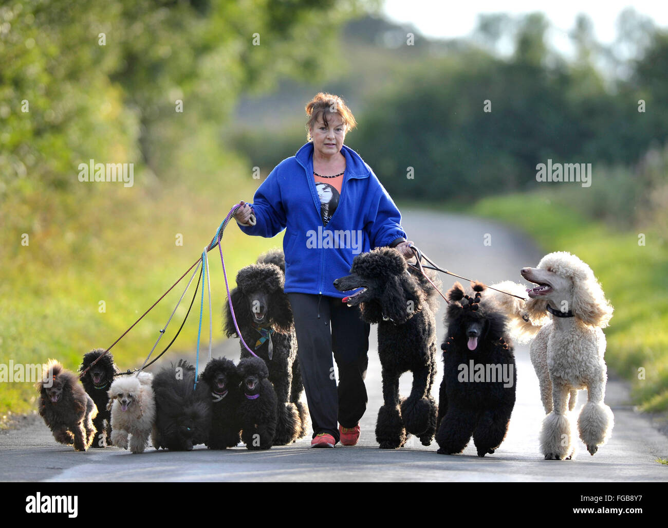 27th  August 2014, Wendy Grady walking her Giant Poodle dogs and pups on a country lane, near Broxburn, West Lothian, - Stock Image