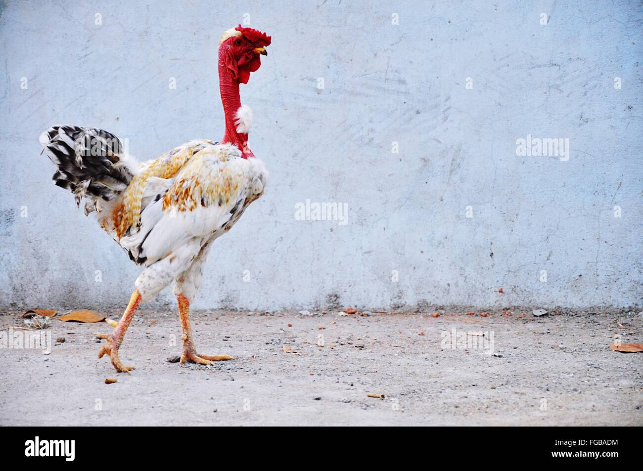 Chicken Against Wall - Stock Image