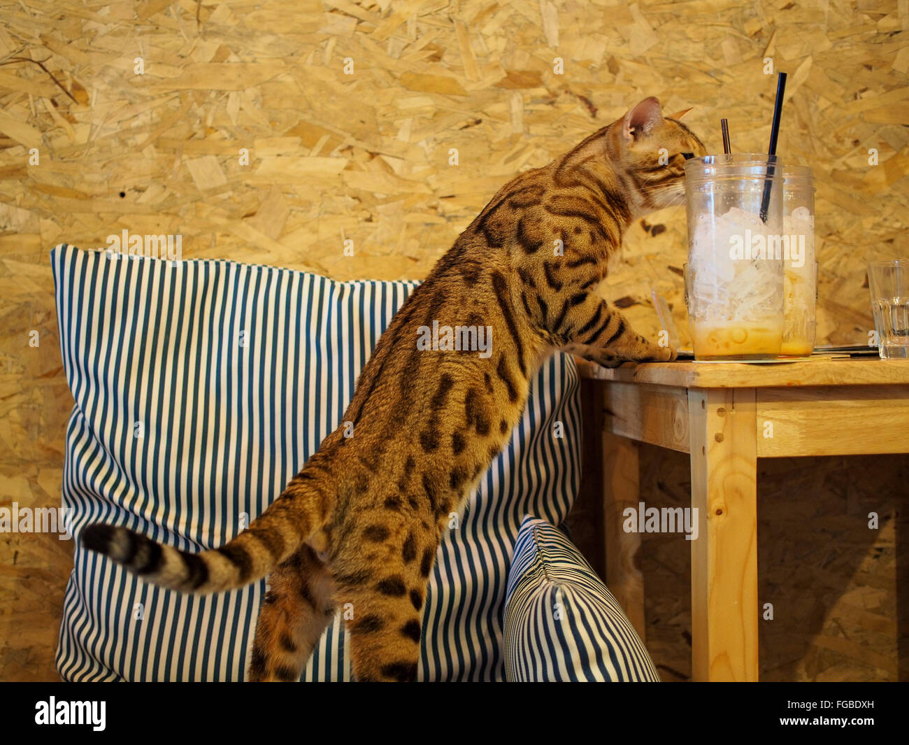 Cat Standing On Pillow By Table At Home - Stock Image