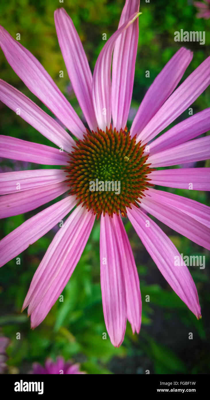 High Angle View Of Eastern Purple Coneflower Blooming In Garden - Stock Image
