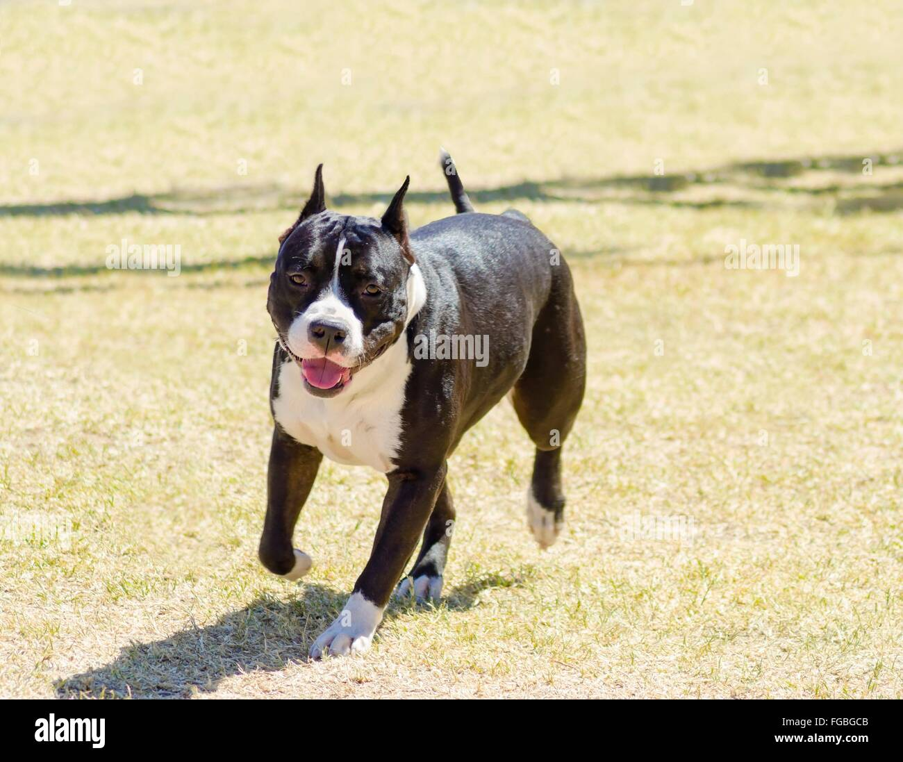 black american staffordshire terrier american bulldog cropped ears stock photos american 9369