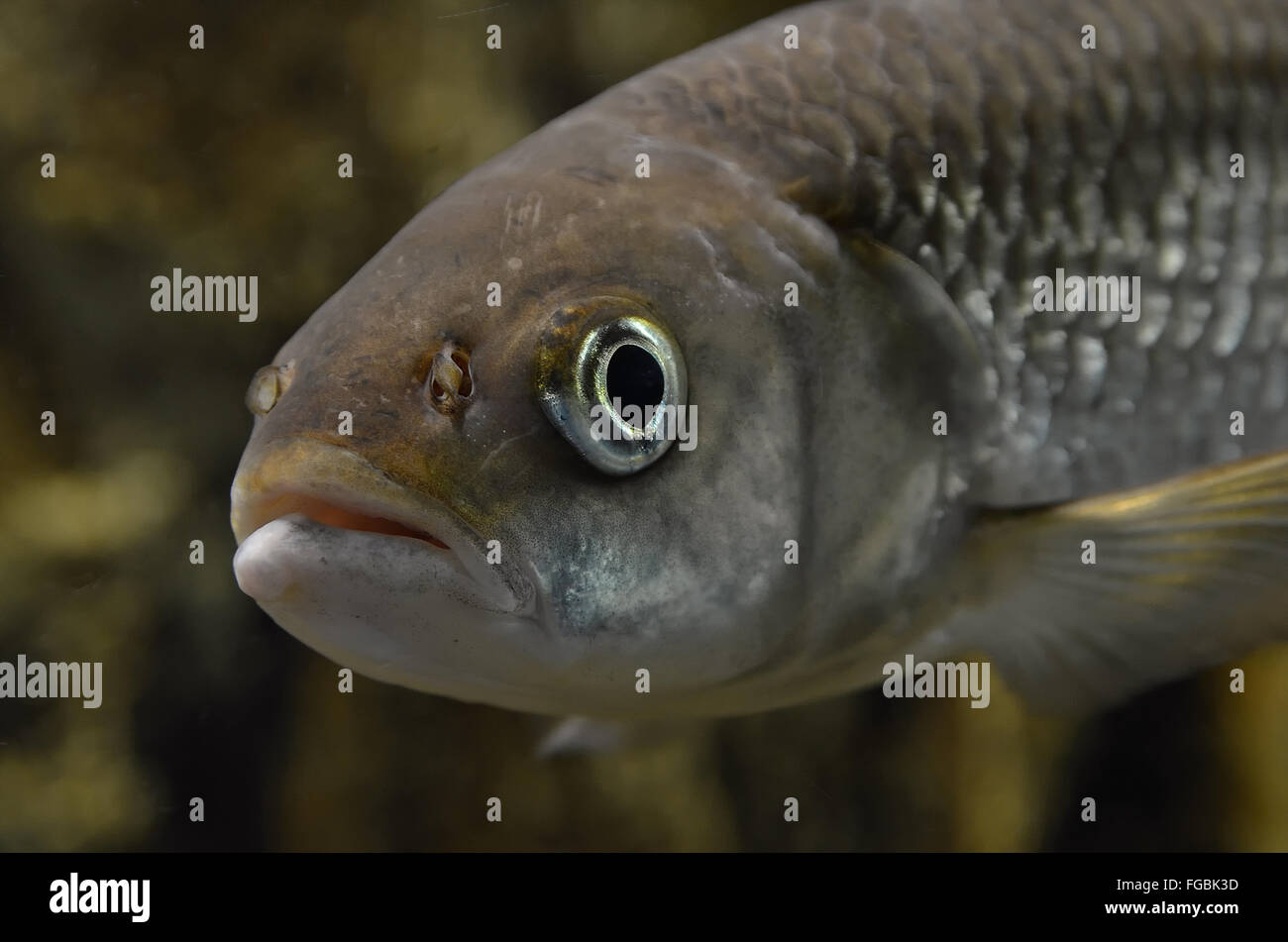 Close-Up Of Fish Underwater - Stock Image