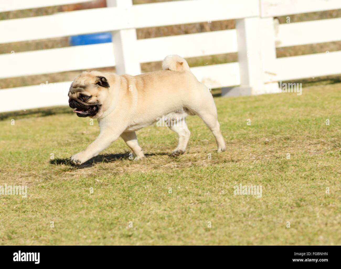 A small, young, beautiful, fawn Pug with a wrinkly short muzzled face running on the lawn looking playful and cheerful. - Stock Image