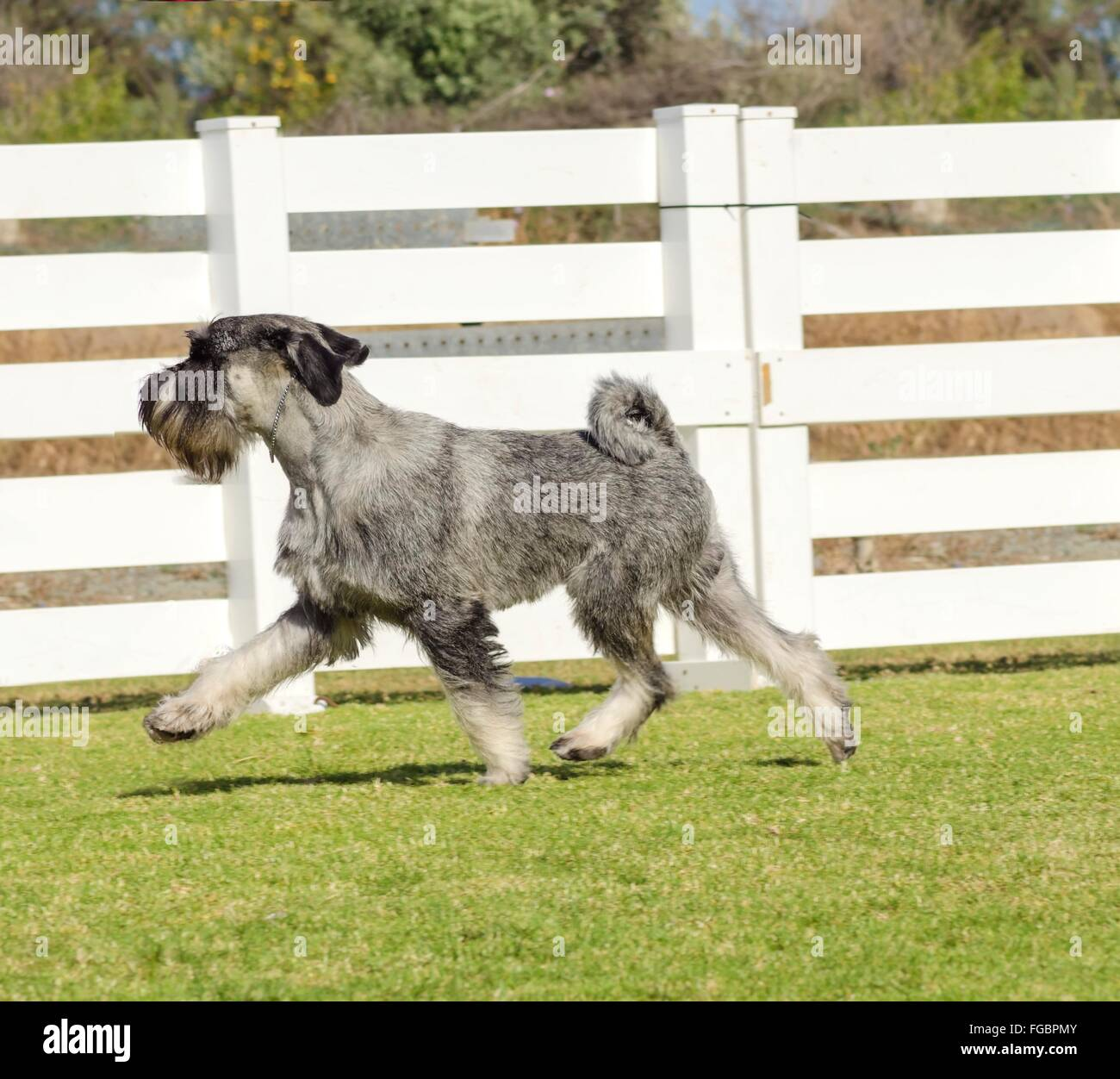 A young salt and pepper, gray Standard Schnauzer dog walking on the grass, looking very happy. It is known for being - Stock Image