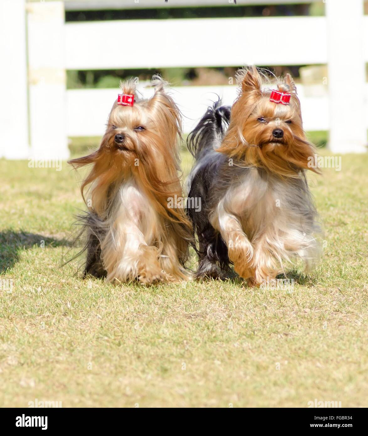 A portrait view of two small gray black and tan Yorkshire Terrier dog walking on the grass, with their head coat - Stock Image
