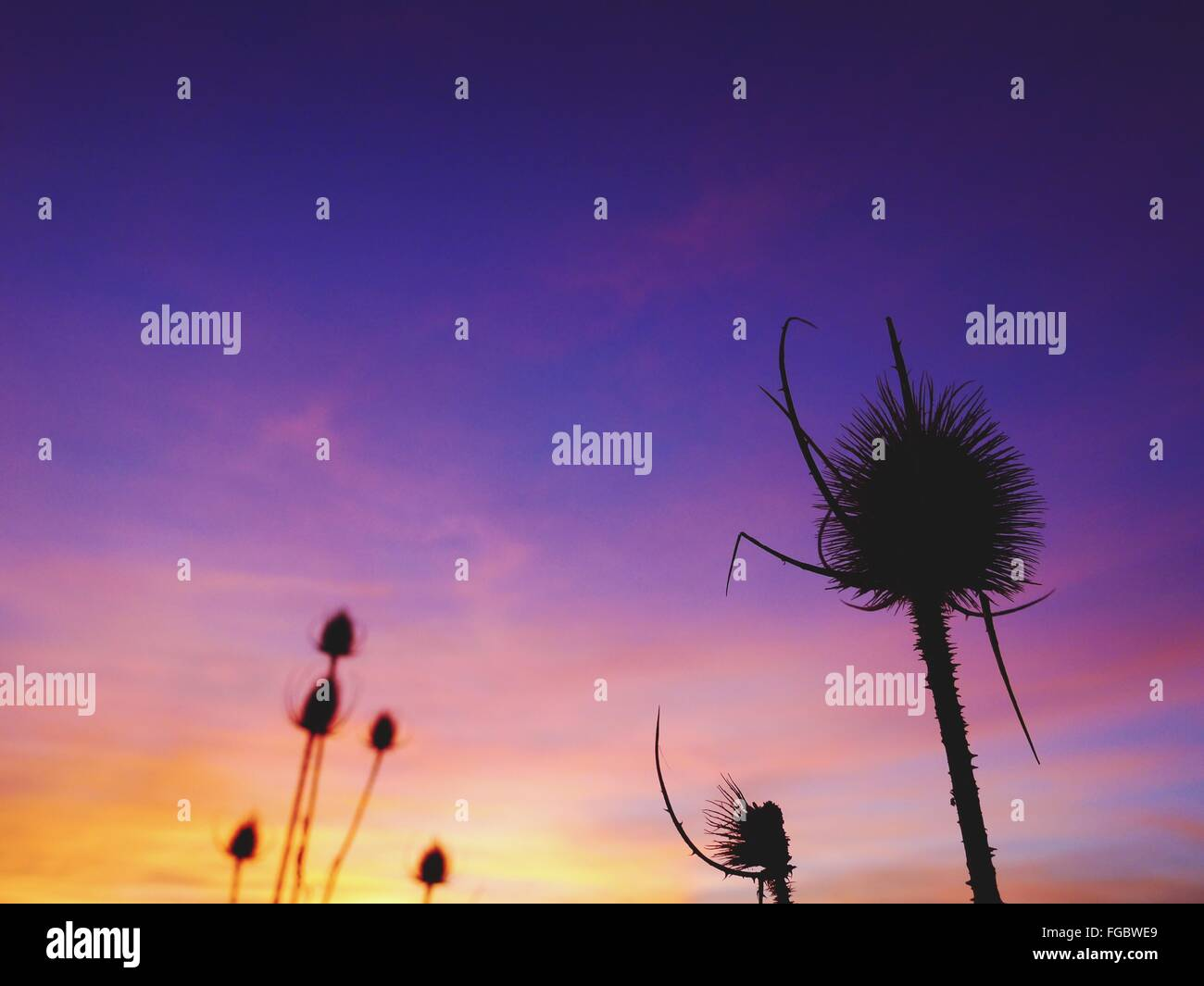 Low Angle View Of Dry Silhouette Thistle Against Sky At Sunset - Stock Image