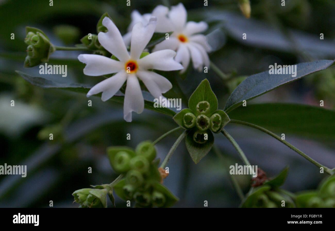 Night blooming jasmine stock photos night blooming jasmine stock nyctanthes arbor tristis night blooming jasmine tree or shrub opposite green izmirmasajfo