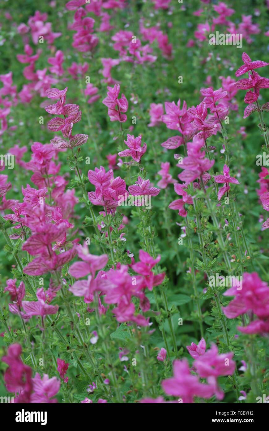 Pink Flowering Plants Growing On Field Stock Photo 96149454 Alamy
