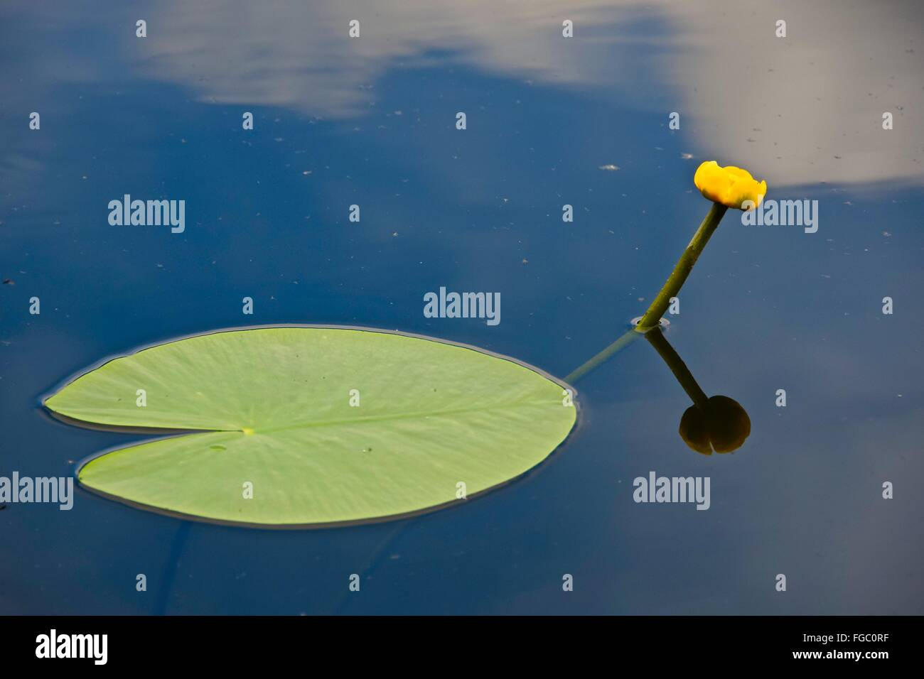 Lily Pad Floating On Water Stock Photos & Lily Pad Floating On Water ...