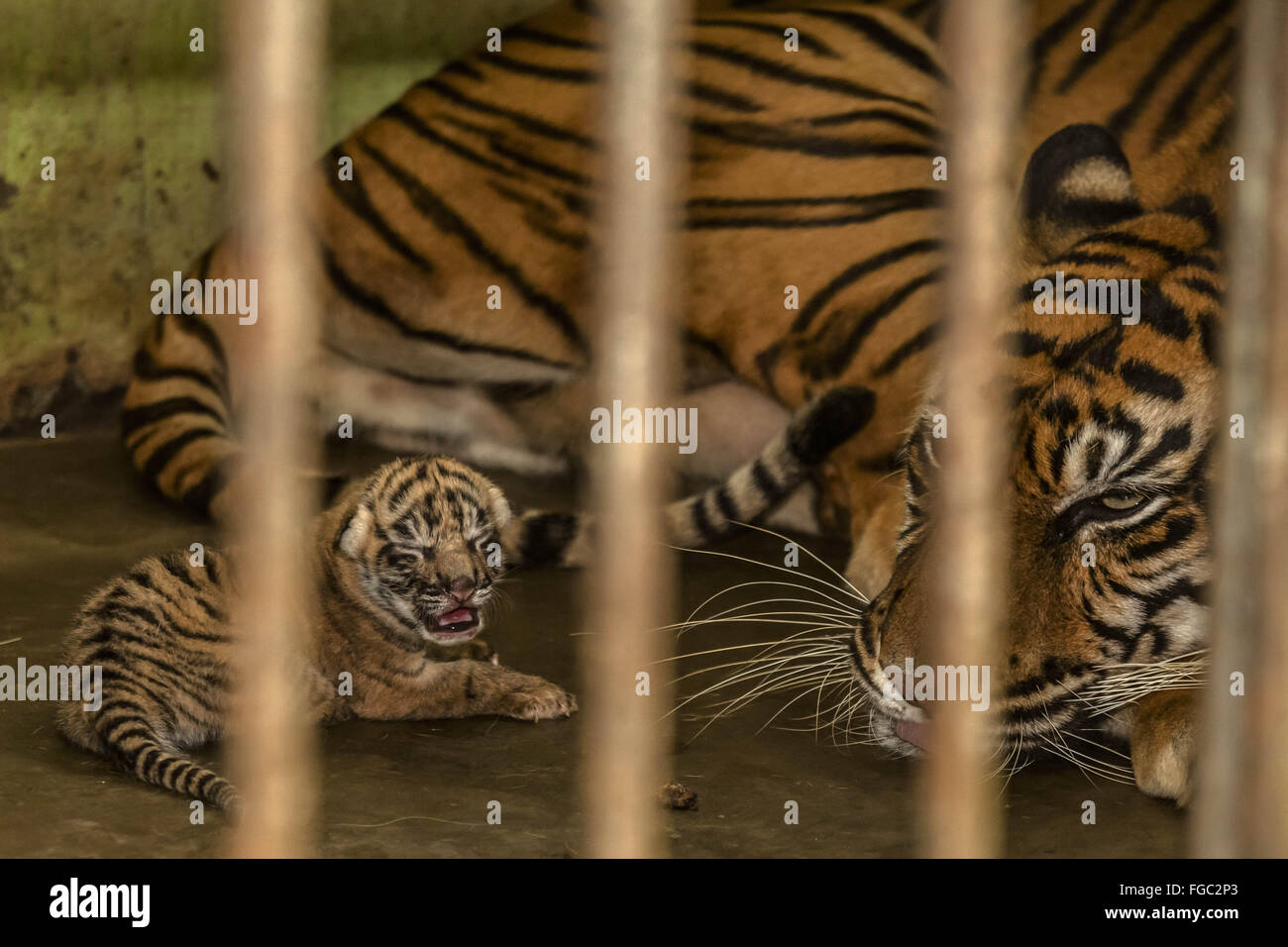 Medan. 18th Feb, 2016. Photo taken on Feb. 18, 2016 shows a 17-year-old Sumatran tiger staying with her newborn - Stock Image