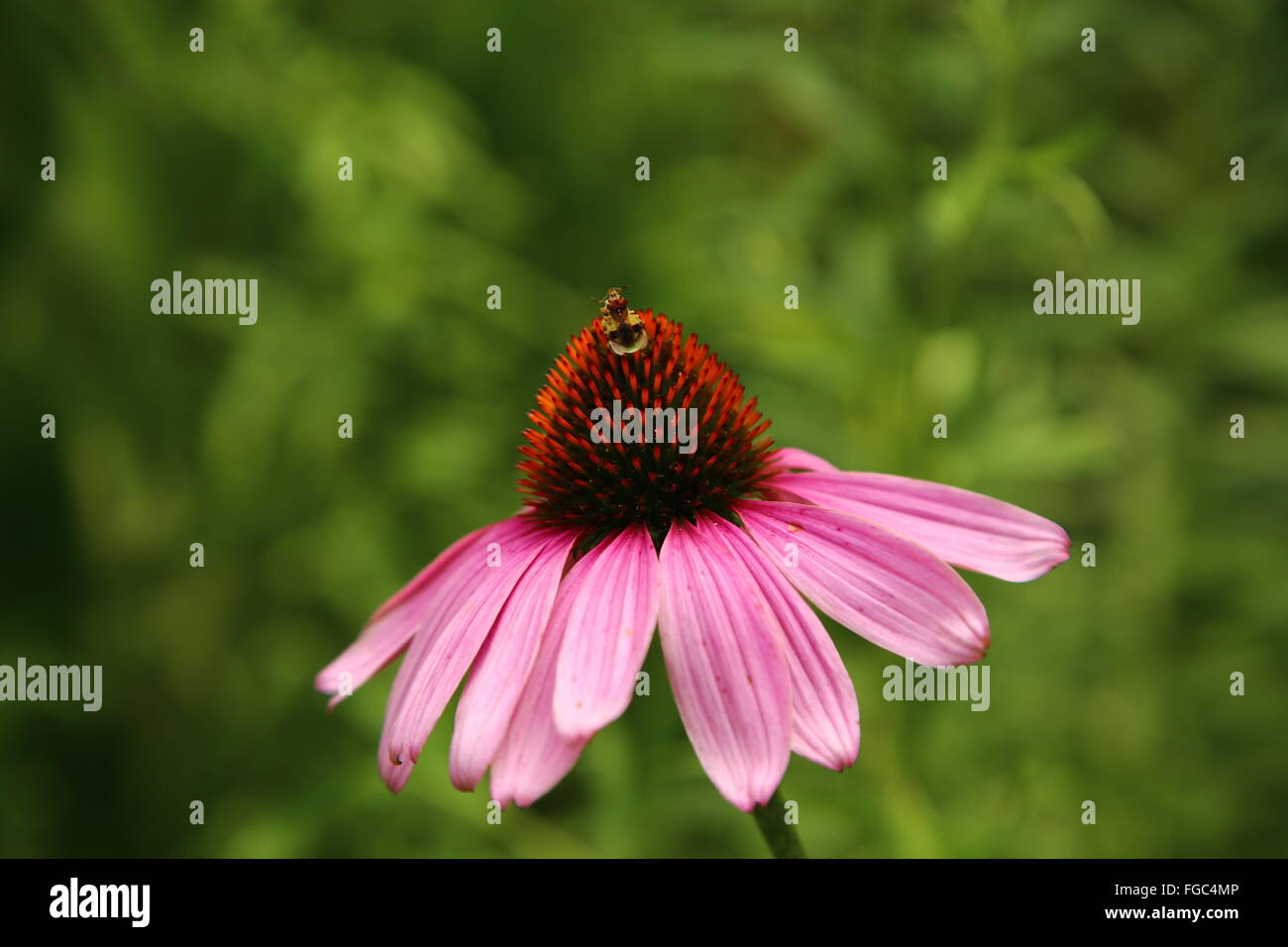 Close-Up Of Insect Pollinating Eastern Purple Coneflower - Stock Image