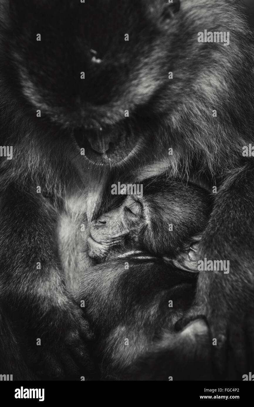 Close-Up Of Monkey Feeding Baby - Stock Image