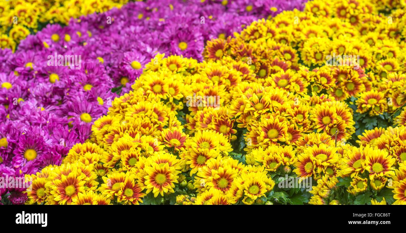 orange shade yellow and purple chrysanthemum flower background - Stock Image