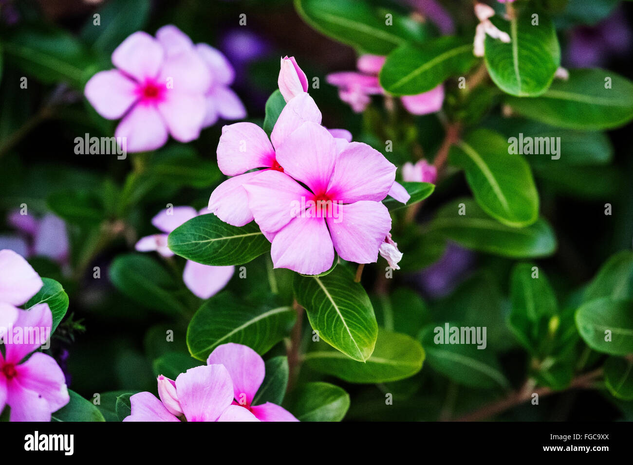 Pink Vinca Flower Stock Photos Pink Vinca Flower Stock Images Alamy