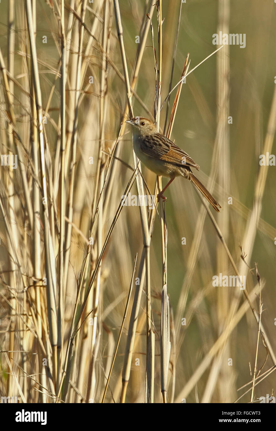 Wailing Cisticola (Cisticola lais) adult, perched on reed stem, Wakkerstroom, Mpumalanga, South Africa, November - Stock Image