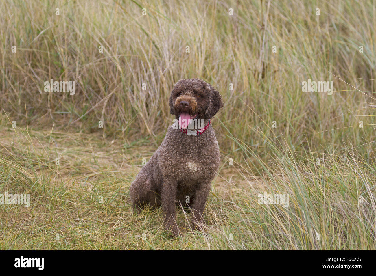 Domestic Dog, Perro de Agua Espanol, adult, sitting in sand dunes, panting, Norfolk, England, October - Stock Image