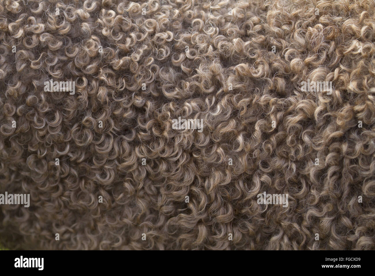 Domestic Dog, Perro de Agua Espanol, adult, close-up of curly coat, Norfolk, England, October - Stock Image